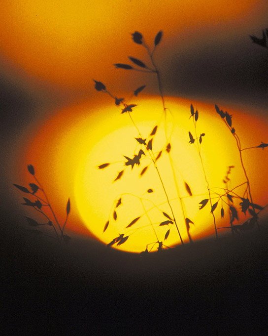 A photo shows the silhouette of a grassy plant against the sun at sunset.