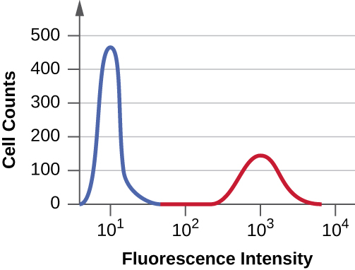 A graph with Fluorescence intensity on the X axis and cell counts on the Y axis. The first peak reaches 450 and the second reaches 100.