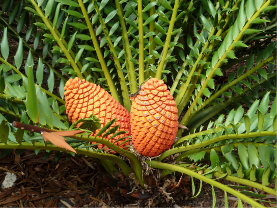 Photo shows a cycad with leaves resembling those of a fern, with thin leaves branching from a thick stem. Two very large cones sit in the middle of the leaves, close to the ground.
