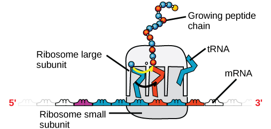 An illustration of a ribosome is shown. m R N A sits between the large and small subunits. t R N A molecules bind the ribosome and add amino acids to the growing peptide chain.