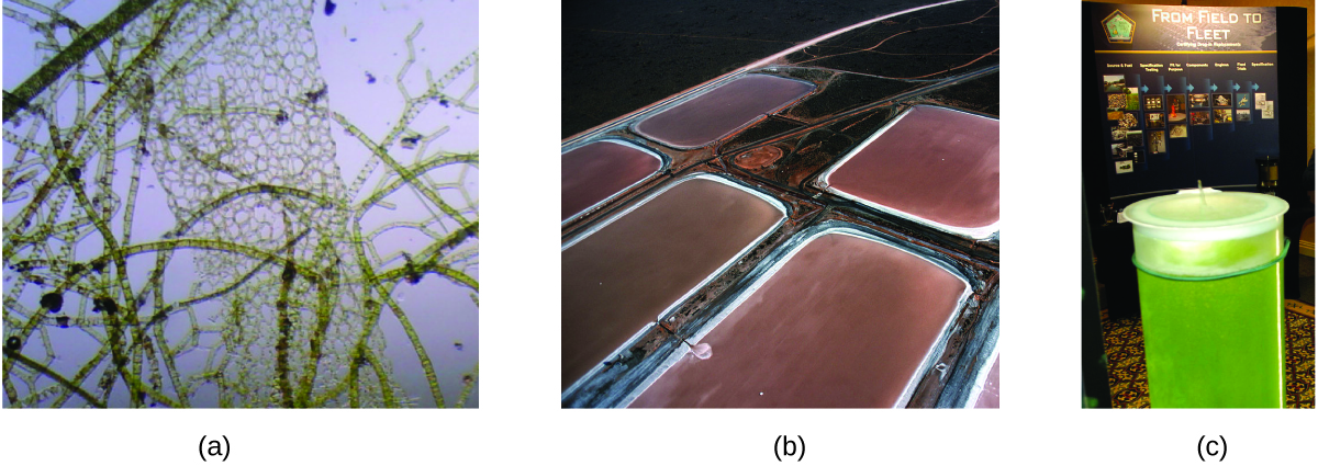 "Three pictures are shown and labeled a, b, and c. Picture a shows a microscopic view of algal organisms. They are brown, multipart strands and net-like structures on a background of light violet. Picture b shows five large tubs full of a brown liquid containing these algal organisms. Picture c depicts a cylinder full of green liquid in the foreground and a poster in the background that has the title ""From Field to Fleet."""