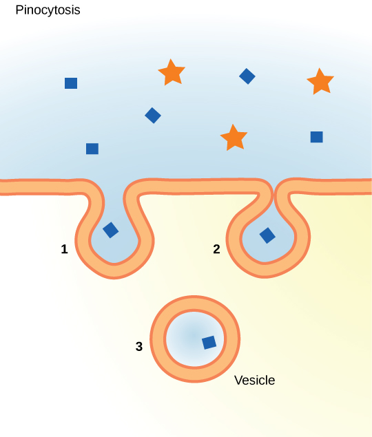 This illustration shows a plasma membrane forming a pocket around fluid in the extracellular fluid. The membrane subsequently engulfs the fluid, which becomes trapped in a vacuole.