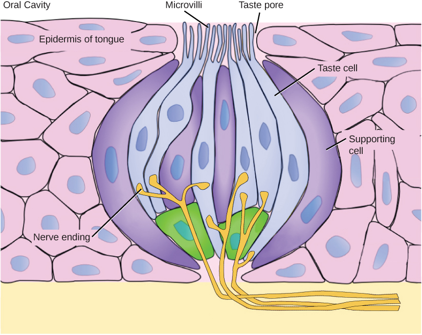 A taste bud is shaped like a garlic bulb, and is embedded in the epidermis of the tongue. Together, the two types of cells that make up the taste bud, taste cells and supporting cells, resemble cloves. Hair-like microvilli extend from the tips of the taste cells, into a taste pore on the surface of the tongue. Nerve endings extend into the bottom of the taste bud from the dermis.