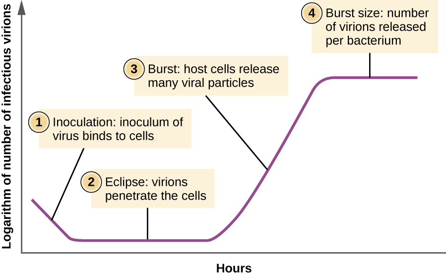"The Y axis of the graph is ""logarithm of number of infectious virions""; the X axis of the grap his ""hours"". The beginning of the line has a a downward slope and is labeled ""1: Inoculation: inoculum of virus binds to cells"". Next is a flat region of the line labeled ""2: Eclipse: virions penetrate the cell"". Next is an upward slope labeled ""3: Burst: host cells release many viral particles"". Next is another flat region labeled ""4: Burst size: number of virions released per bacterium""."