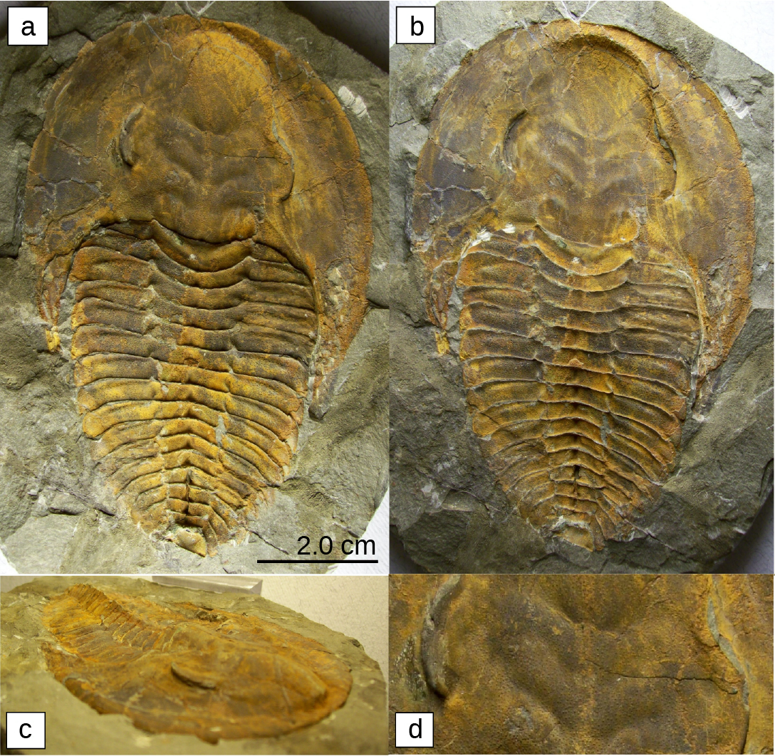 Photos a, b, c, d show four trilobite fossils. All are teardrop shaped, with a smooth wide end. About one-third of the way down, the body is segmented into horizontal ridges.
