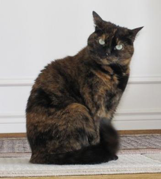 Photo shows a tortoiseshell cat with orange and black fur.