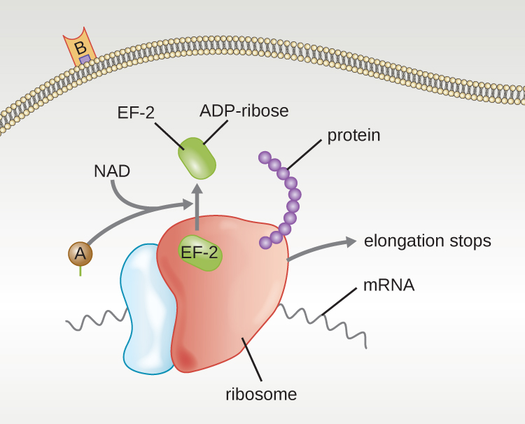 A diagram of the mechanism of diphtheria toxin. On the outside is a membrane with the B subunit attached. Inside is the A subunit binding with NAD. This block EF-2 by binding ADP-ribose. The diagram also shows mRNA bound to a ribosome and protein being made. The A subunit causes elongation of  the protein to stop.