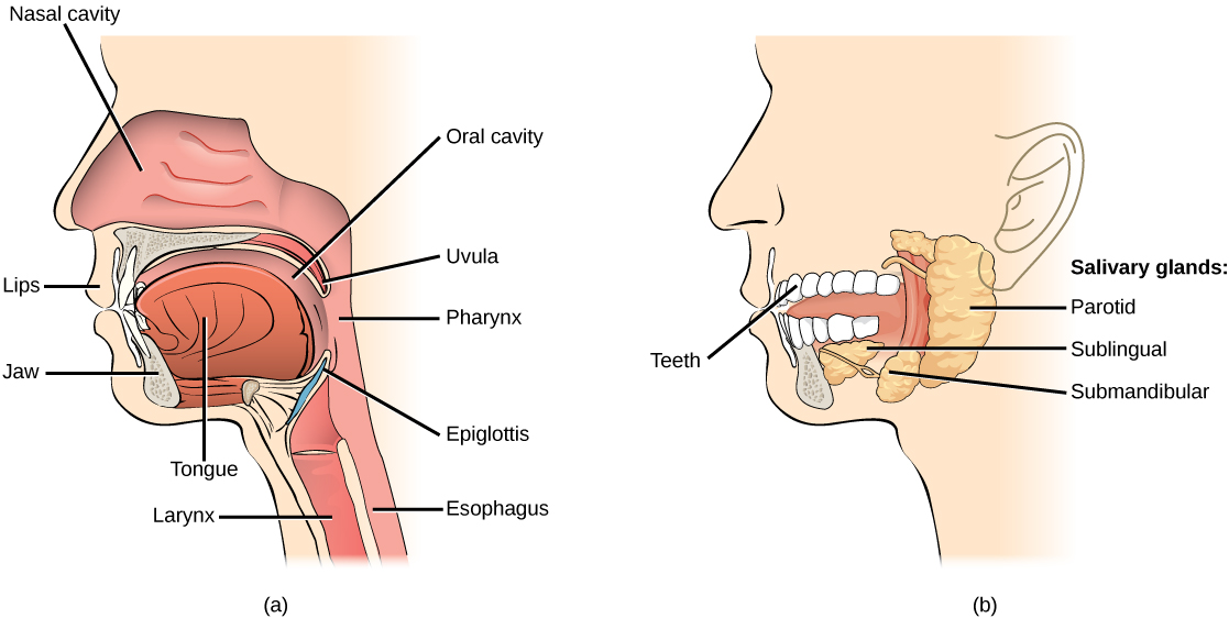 Illustration A shows the parts of the human oral cavity. The tongue rests in the lower part of the mouth. The flap that hangs from the back of the mouth is the uvula. The airway behind the uvula, called the pharynx, extends up to the back of the nasal cavity and down to the esophagus, which begins in the neck. Illustration B shows the two salivary glands, which are located beneath the tongue, the sublingual and the submandibular. A third salivary gland, the parotid, is located just in front of the ear.