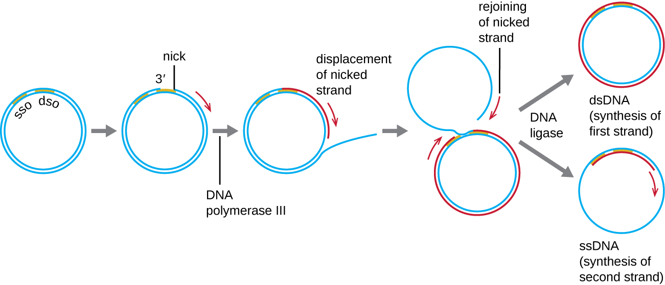 Diagram of DNA replication. A circle of double stranded DNA has a region labeled SSO near a region labeled DSO. A nick forms in DSO and DNA polymerase III begins copying and displacing the nicked strand. This forms a new ring made of an old and a new strand of DNA; the second old strand of DNA is outside of this ring but eventually rejoins the nicked strand. DNA ligase then separates the dsDNA (synthesis of first strand) and the lone ssDNA. The ssDNA then has the second strand synthesized and become a ds DNA as well.