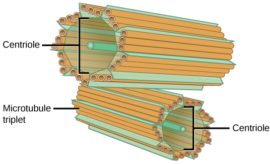 The image depicts two tube-like structures, one on top of the other, at right angles. Each of the tubes is labeled as the centriole. Each tube is composed of smaller tubes grouped in threes; these are labeled 'microtubule triplet.' Each centriole tube is composed of nine triplets arranged to form the wall of the tube.