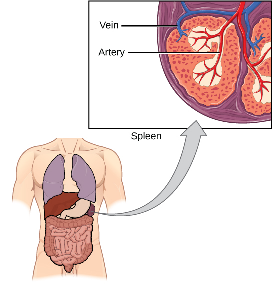An illustration shows a cross section of a part of a spleen, which is located the upper left part of the abdomen. An inset diagram shows arteries and veins extending into the tissue of the spleen.