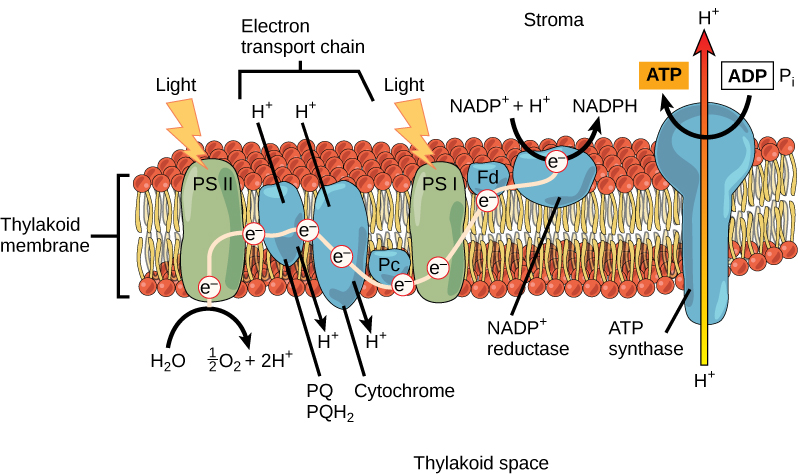 This illustration shows the components involved in the light reactions. Photosystem II uses light to excite an electron, which is passed on to the chloroplast electron transport chain. The electron is then passed on to photosystem I and to NADP+ reductase, which makes NADPH. This process forms an electrochemical gradient that is used by ATP synthase enzyme to make ATP.
