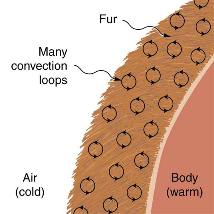 The figure shows a cross-sectional view of a body covered by a fur layer. A number of convection loops are shown in the fur. The air outside the fur is cold and the body beneath the fur is warm.