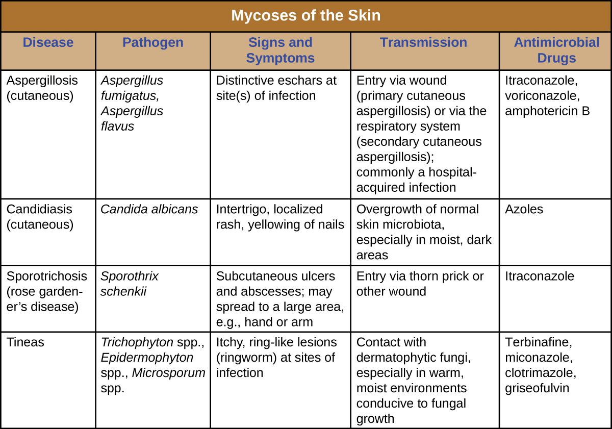 Table titled: Mycoses of the Skin. Columns: Disease, Pathogen, Signs and Symptoms, Transmission, Antimicrobial Drugs. Aspergillosis (cutaneous), Aspergillus fumigatus, Aspergillus flavus, Distinctive eschars at site(s) of infection, Entry via wound (primary cutaneous aspergillosis) or via the respiratory system (secondary cutaneous aspergillosis); commonly a hospital-acquired infection, Itraconazole, voriconazole, amphotericin B. Candidiasis (cutaneous), Candida albicans, Intertrigo, localized rash, yellowing of nails, Opportunistic infections in immunocompromised patients, Azoles. Sporotrichosis (rose gardener's disease), Sporothrix schenkii, Subcutaneous ulcers and abscesses; may spread to a large area, e.g., hand or arm, Entry via thorn prick or other wound, Itraconazole. Tineas, Trichophyton spp., Epidermophyton spp., Microsporum spp., Itchy, ring-like lesions (ringworm) at sites of infection, Contact with dermatophytic fungi, especially in warm, moist environments conducive to fungal growth, Terbinafine, miconazole, clotrimazole, griseofulvin.