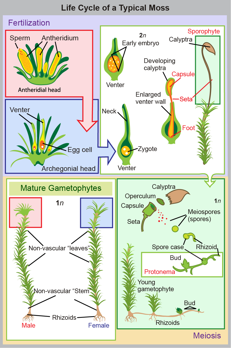 In mosses, the mature haploid (1n) gametophyte is a slender, nonvascular stem with fuzzy, non-vascular leaves. Root-like rhizoids grow from the bottom. Male antheridia and female archegonia grow at the tip of the stem. Sperm fertilize the eggs, producing a diploid (2n) zygote inside a vase-like structure called a venter inside the archegonial head. The embryo grows into a sporophyte that projects like a flower from the vase. The sporophyte undergoes meiosis to produce haploid (1n) spores that grow to produce mature gametophytes, completing the cycle.