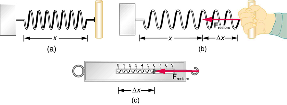 (a) A spring of length x, fixed at one end, is shown in horizontal position. (b) The same spring is shown pulled by a person by a distance of delta x. The restoring force F restore is represented by an arrow pointing left toward the position where the spring is fixed. (c) A spring balance containing a spring stretched a distance delta x is shown. The restoring force is represented by an arrow F restore pointing toward the left in the direction opposite to the elongation of the spring.