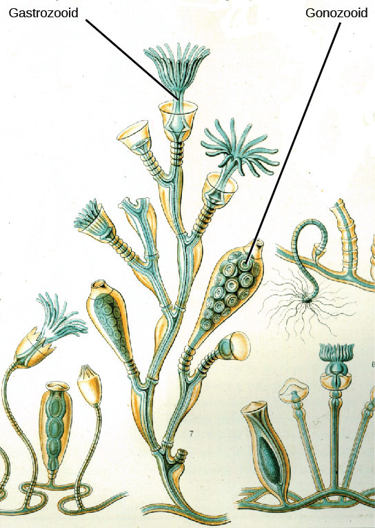 Illustration a shows Obelia geniculata, which has a body composed of branching polyps of two different types; a gastrozooid, which has strand like extensions that form in the shape of a cup; and gonozooid, which is shown as many oval shaped sphere filled with small circular elements.