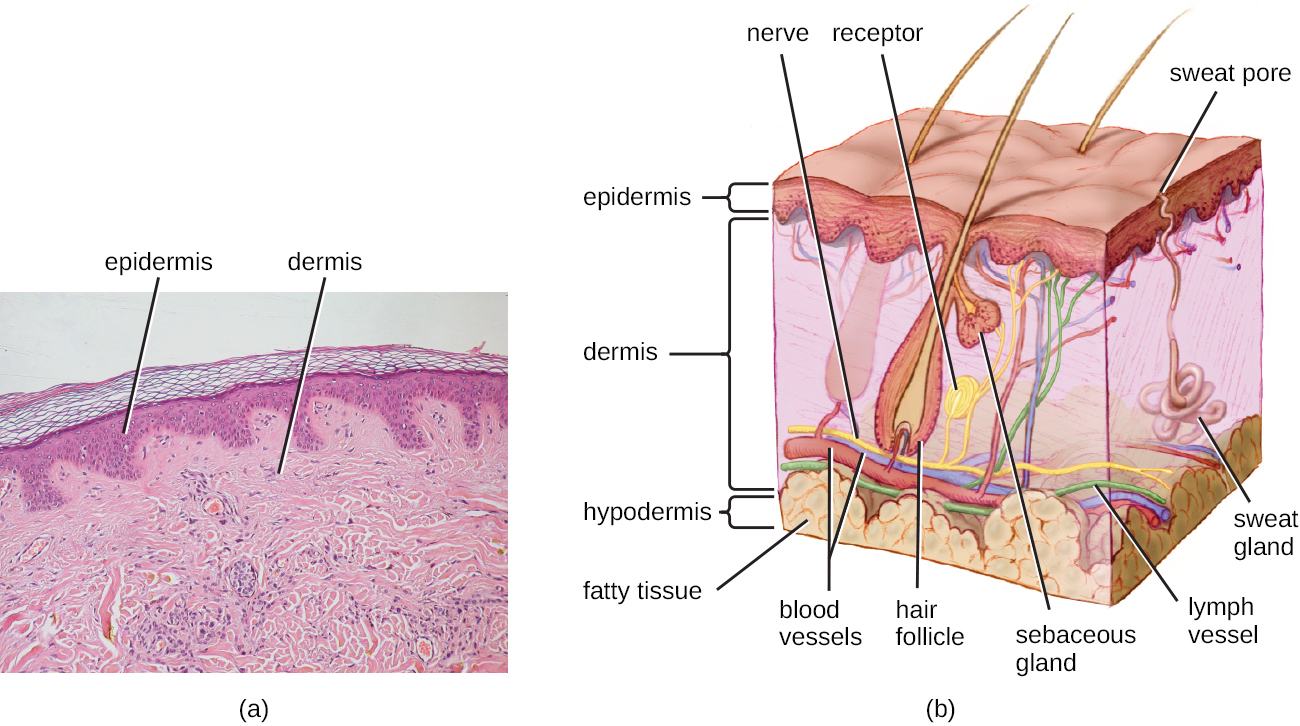 a) A micrograph of a large light pink region labeled dermis, a thinner dark pink region on top of that labeled epidermis, and a thin region of clear cells. The division between the dermis and epidermis is wavy; with areas where one projects into the other. B) A diagram of skin. The top layer is dark and is labeled epidermis. The next layer is lighter and much thicker; this is the dermis. Inside the dermis are vase-shaped hair follicles with hairs projecting out of the skin. Next to the hair follicle is a smaller vase-shape labeled sebaceous gland; this empties into the space of the hair follicle. There are also coiled shapes labeled receptor and a variety of long tubes labeled: nerve, lymph vessel and blood vessels. A coiled blob is labeled sweat gland; this leads to a tube that opens at the surface called a sweat pore. Below the dermis is a yellow bubbly-looking layer labeled fatty tissue; this is the hypodermis.