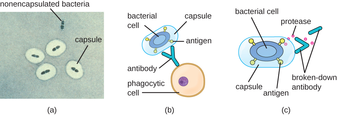 a) a micrograph showing nonencapsulated cells as blue ovals on a light background. Encapsulated cells have a thick clear ring around the blue cells. B) Antibodies on phagocytic cells bind to antigens on the bacterial cell. Capsules on the bacterial cell cover the antigen and prevent the antibody from binding to the antigen. C) A bacterial cell is releasing small donts labeled proteases that are breaking down an antibody.