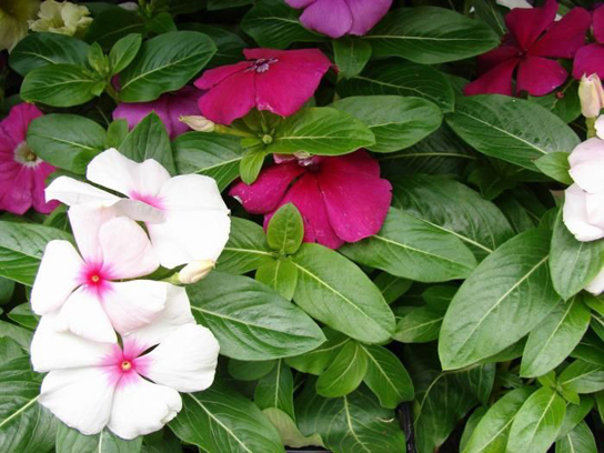 Photo shows white and pink periwinkle flowers. Each flower has five triangular petals, with the narrow end of the petal meeting at the flowers center. Pairs of waxy oval leaves grow perpendicular to one another on a separate stem.