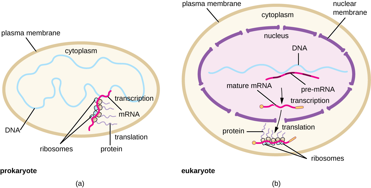 a) Diagram of prokaryotic cell with a plasma membrane on the outside. The DNA is in the cytoplasm and the mRNA is being copied at the same time that ribosomes are building proteins of the developing mRNA. B) Diagram of a eukaryotic cell with a plasma membrane an a nucleus. The DNA is in the nucleus and pre-mRNA is made during transcription; this is then process into mature mRNA. The mature mRNA then leaves the nucleus and enters the cytoplasm where translation takes place. This is when ribosomes bind to the mRNA and make proteins.