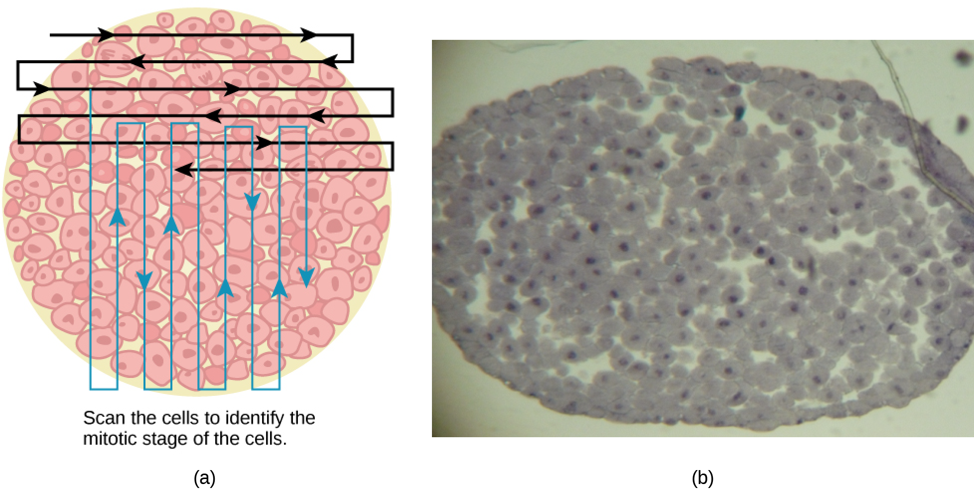 Left: This figure shows an illustration of whitefish blastula cells with a scanning pattern from right to left, and from top to bottom. Right: A micrograph of whitefish blastula cells in various phases of the cell cycle is shown.