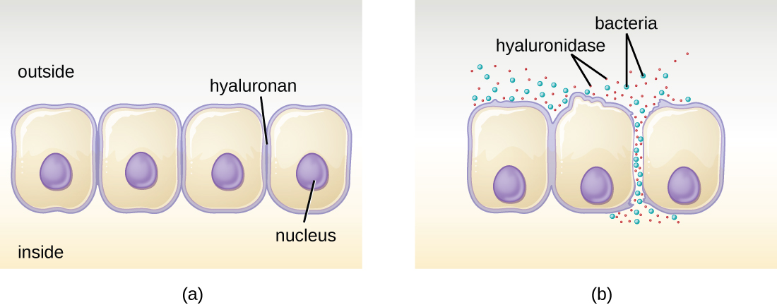 a) A diagram of epithelial cells that are connected along their membranes. Hyaluronidases enter at these connection points. B) after the hyaluronidases break down the connections between the cells, bacteria can flow through the openings.
