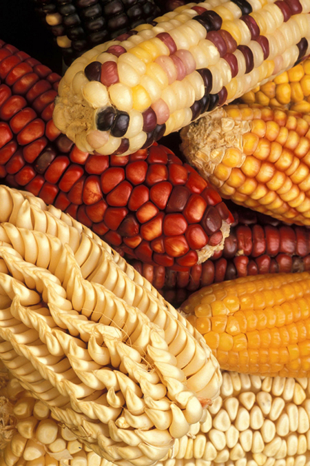 A photo of cobs of corn with kernels of varying shape and color.
