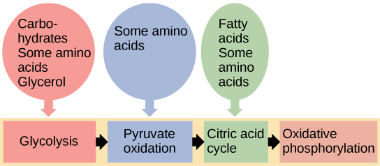 This illustration shows that glycogen, fats, and proteins can be catabolized via aerobic respiration. Glycogen is broken down into glucose, which feeds into glycolysis at the start. Fats are broken down into glycerol, which is processed by glycolysis, and fatty acids are converted into acetyl CoA. Proteins are broken down into amino acids, which are processed at various stages of aerobic respiration, including glycolysis, acetyl CoA formation, and the citric acid cycle.