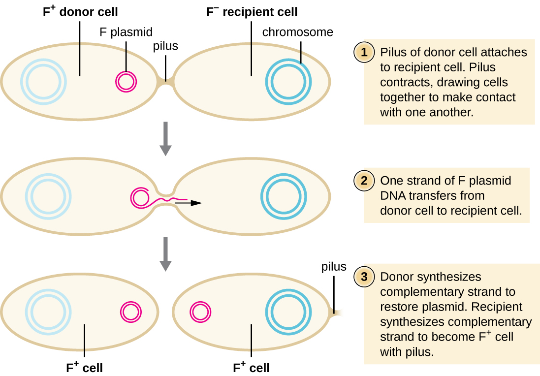 Diagram of conjugation. 1: Pilus of donor cell attaches to recipient cell. The donor cell contains a plasmid labeled F plasmid; the cell is labeled F+ donor cell. The recipient cell is labeled F- recipient cell and does not contain a plasmid. A bridge between them is labeled pilus. 2: Pilus contracts, drawing cells together to make contact with one another. 3: One strand of F plasmid DNA transfers from donor cell to recipient cell. 4: Donor synthesizes complementary strand to restore plasmid. Recipient synthesizes complementary strand to become F+ cell pith pilus. Both cells are now labeled F+ and contain a small circular plasmid.