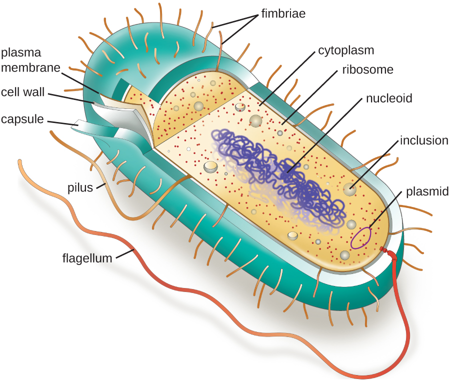 A diagram of a rod-shaped prokaryotic cell. The thick outer layer is called the capsule, inside of that is a thinner cell wall and inside of that is an even thinner plasma membrane. Inside of the plasma membrane is a fluid called the cytoplasm, little dots called ribosomes, small spheres called inclusions, a small loop of DNA called a plasmid, and a large folded loo of DNA called the nucleoid. Long projections start at the plasma membrane and extend out of the capsule; these are called flagella (singular: flagellum). A shorter projection is labeled pilus. And many very short projections are labeled fimbriae.