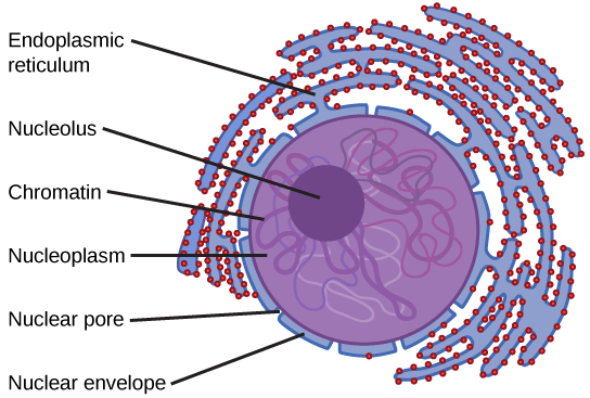 The two-dimensional image depicts the nucleus of a cell as a circular object with two membranes; several gaps appear in the circle, representing nuclear pores. Surrounding the nucleus are membranous sacks representing the endoplasmic reticulum. Inside the nucleus is another circle, approximately ten percent of the total size of the nucleus, representing the nucleolus.