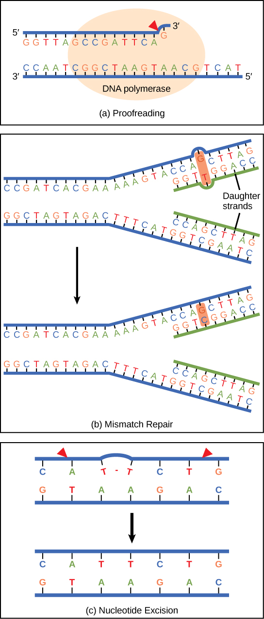 Part a shows DNA polymerase replicating a strand of DNA. The enzyme has accidentally inserted G opposite A, resulting in a bulge. The enzyme backs up to fix the error. In part b, the top illustration shows a replicated DNA strand with a G–T base mismatch. The bottom illustration shows the repaired DNA, which has the correct G–C base pairing. Part c shows  a DNA strand in which a thymine dimer has formed. An excision repair enzyme cuts out the section of DNA that contains the dimer so that it can be replaced with a normal base pair.