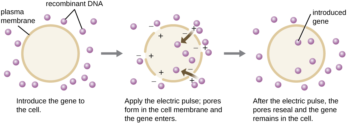 "A diagram showing electroporation. The first panel reads: introduce the gene into the cell. A cell with a distinct plasma membrane is shown and recombinant DNA is on the outside. The next panel reads: apply the electric pulse; pores form in the cell membrane and the gene enters. The image shows holes in the plasma membrane. Positive charges are inside the holes and negative charges are on the outside. Recombinant DNA pieces move into the cell. The final panel reads: after the electric pulse, the pores reseal and the gene remains in the cell. The diagram shows a continuous plasma membrane again and recombinant DNA both inside and outside the cell. The recombinant DNA inside the cell is labeled ""introduced gene"""