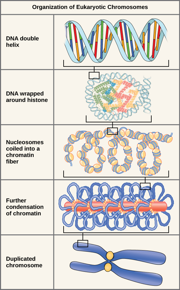 There are five levels of chromosome organization. From top to bottom: The top panel shows a D N A double helix. The second panel shows the double helix wrapped around proteins called histones. The middle panel shows the entire D N A molecule wrapping around many histones, creating the appearance of beads on a string. The fourth panel shows that the chromatin fiber further condenses into the chromosome shown in the bottom panel.