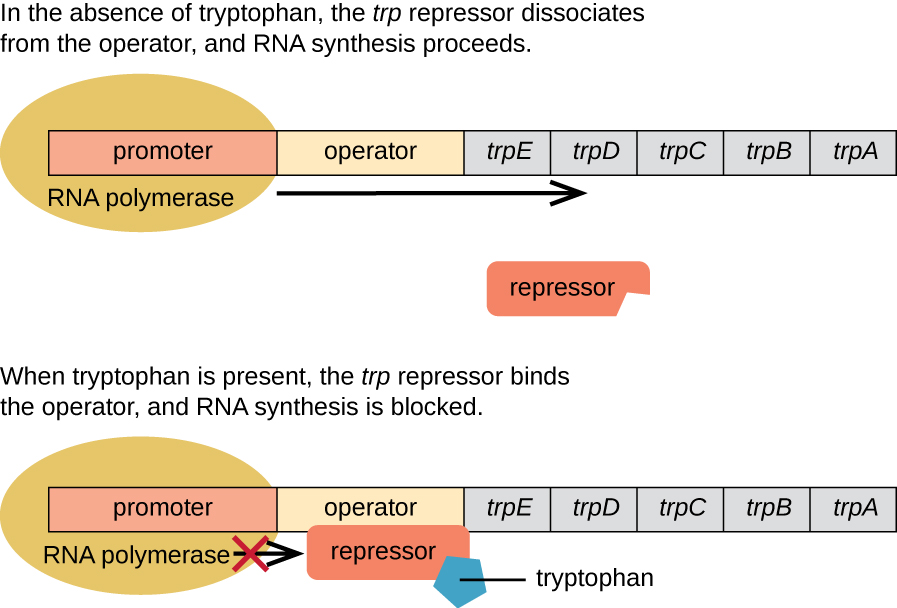 Diagram of the trp operon. The top image shows the operon in the absence of tryptophan. The trp repressor dissociates from the operator and RNA synthesis proceeds. RNA polymerase is bound to the promoter and an arrow indicates that transcription will occur. The repressor is not bound ot anything. The bottom image shows the operon in the presence of tryprophan. When tryptophan is present, the trp repressor binds to the operator and RNA synthesis is blocked. Tryptophan is shown bound to the repressor which is bound to the operator. RNA polymerase is bound to the promoter but is blocked from moving forward by the repressor.