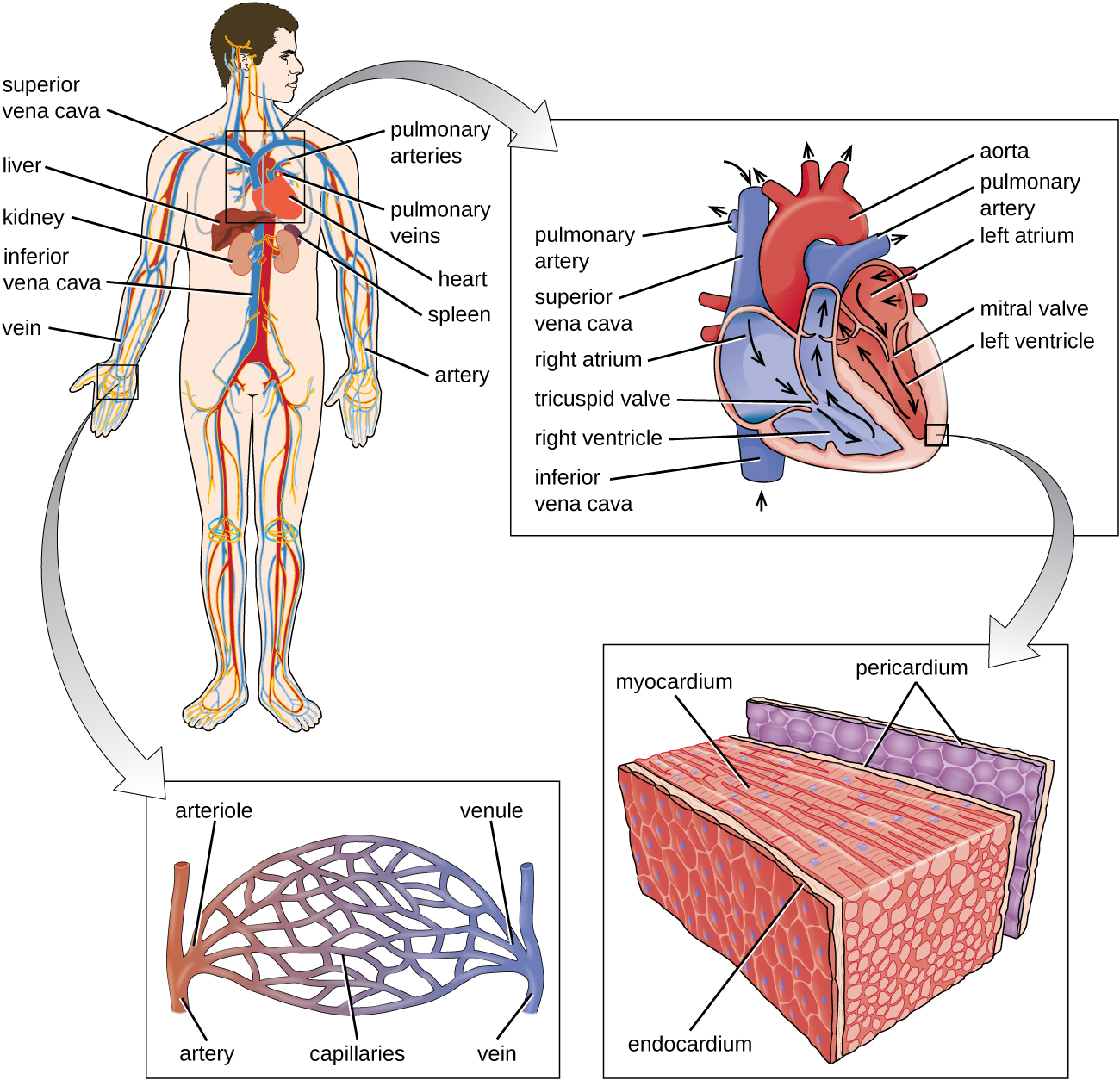 a) Diagram of the circulatory system. Blood from the lower part of the body travels to the heart in the inferior vena cava. Blood from the upper part of the body travels to the heart in the superior vena cava. The pulmonary artery travels from the heart to the lungs and the pulmonary vein travels from the lungs to the heart. B) A diagram of the heart showing the flow of blood. Beginning in the superior and inferior vena cavas, blood travels to the right atrium, through the tricuspid valve, to the right ventricle and out the pulmonary artery. The image does not follow the pulmonary artery. From the pulmonary vein blood travels to the left atrium, through the mitral valve, to the left ventricle and out the aorta.  C) The layers of the heart. The Pericardium is the outer layer. The myocardium is the thick middle layer. The endocardium is the inner layer.