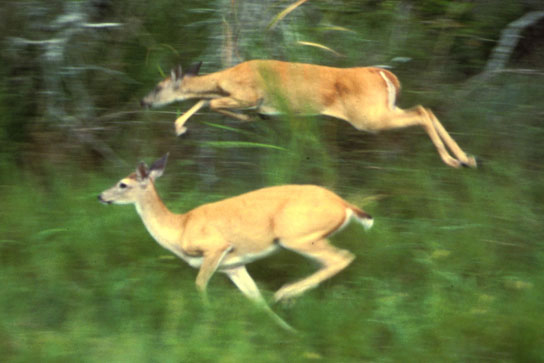 This photo shows deer running through tall grass at the edge of a forest.