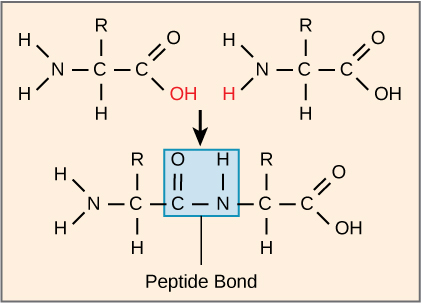 The formation of a peptide bond between two amino acids is shown. When the peptide bond forms, the carbon from the carbonyl group becomes attached to the nitrogen from the amino group. The upper O upper H from the carboxyl group and an upper H from the amino group form a molecule of water.