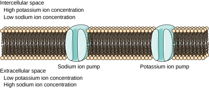 The figure shows dozens of dark brown tubes with tan circles on top. The magnified section shows a break about a quarter of the way into the brown tubes that has a blue circle and this circle represents a Sodium ion pump, a quarter of the way past that is another blue circle this time labeled Potassium ion pump.