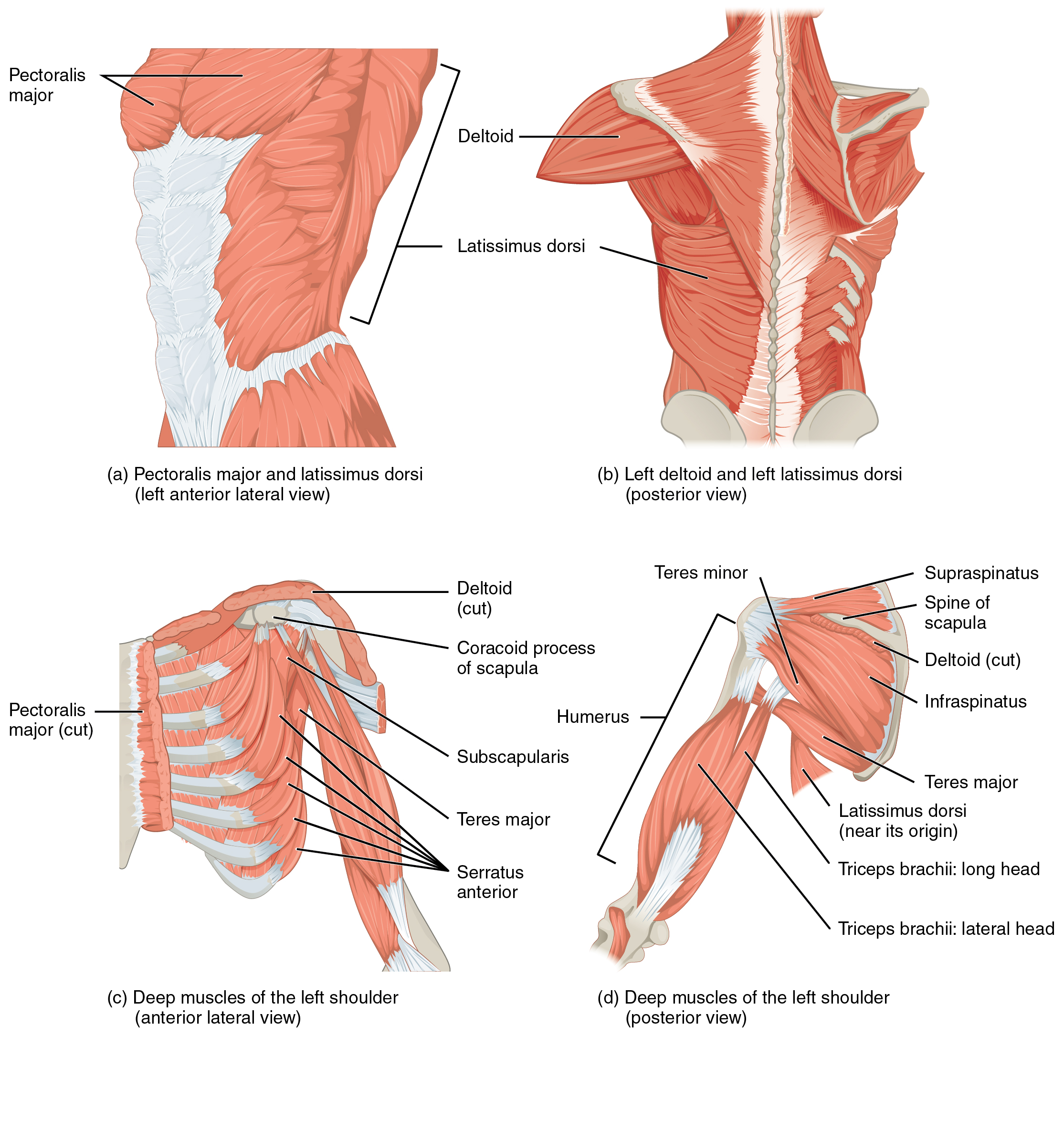 The top left panel shows the lateral view of the pectoral and back muscles. The top right panel shows the posterior view of the right deltoid and the left back muscle. The bottom left panel shows the anterior view of the deep muscles of the left shoulder, and the bottom right panel shows the deep muscles of the left shoulder.