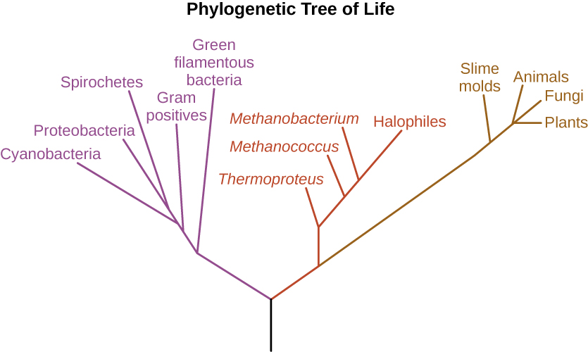 The phylogenetic Tree of Life. A drawing of branching lines. The central line at the bottom branches into two main branches. On the left branch is a purple branch that contains the following sub-branches: Green filamentous bacteria, Gram positives, Cyanobacteria, Proteobacteria, and Spirocheres. The branch to the right subdivides into a red and a brown branch. The brown branch contains the following sub-branches: Smile molds, Plants, Fungi and Animals. The red branch contains the following sub-branches: Thermoproteus, Methanococcus, Methanobacterium, and Halophiles.