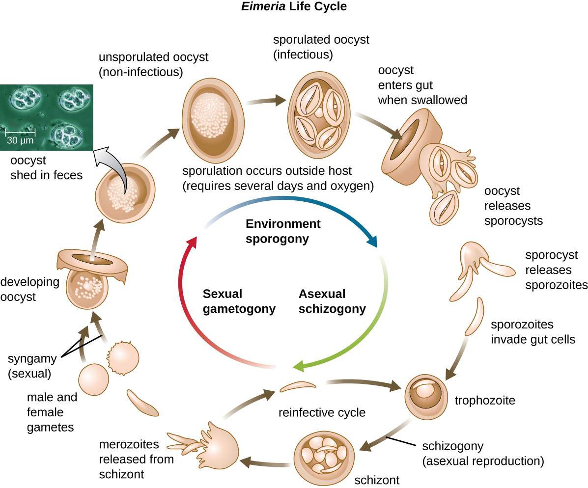 Eimera life cycle. Envronment sporogony is the process of sporulation occruing outside the host; this requires several days and oxygen. A non-infectous unsporulated oocyst becomes an infectious sporulated oocyst. These enter the gut when swallowed and begin the proess of asexual schizogony. Oocsts realease sporocyts which release sporozoites. Sporozoites invate gut cells and form trophozoites. Trophozoites undergo schizogony (asexual reproduction) to form schizont which releases merozoites. Merozoites can reinfect and become trphozoites again or continue with sezual gametogon where the maerozoites form male and female gamets. The gamees undergo syngamy (sexual reproduction) to form a developing oocyst which mautres into an unsporulated non-infectious oocyst. This brings us back to the beginning of the environment sporogony stage of the cycle.