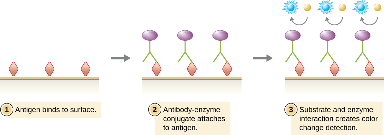 Viral antigens (drawn as diamonds) are attached to a surface. Antibodies (drawn as Y's) with an enzyme conjugate (purple circle) attached to them bind to the viral antigens. A substrate (drawn as a blue circle) interacts with the enzyme on the antibody and changes color for detection.
