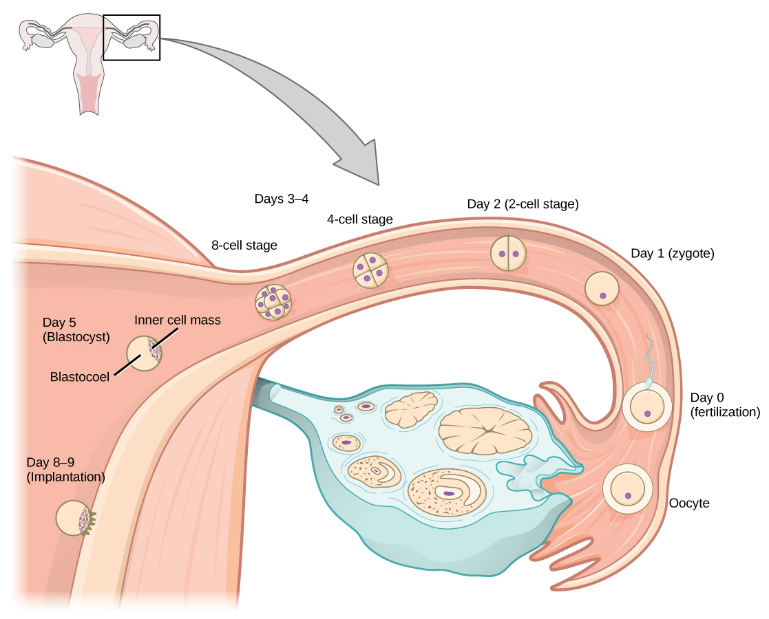 Upon ovulation, an oocyte is released from the ovary and enters the fallopian tubule. Fertilization by a sperm occurs at day zero, resulting in a single-celled zygote. Around day two, the zygote undergoes cell division. More cell divisions occur on the third and fourth day, resulting in four-cell and eight-cell stages. By this time the cell mass has traveled to the end of the fallopian tube. Around day five the cell mass enters the uterus and differentiates into a blastocyst that is hollow inside, with an inner cell mass off to one side. The layer of cells on the outside of the blastocyst is called the trophoblast. Around day eight or nine the blastocyst implants in the wall of the uterus, with the inner cell mass facing the wall.