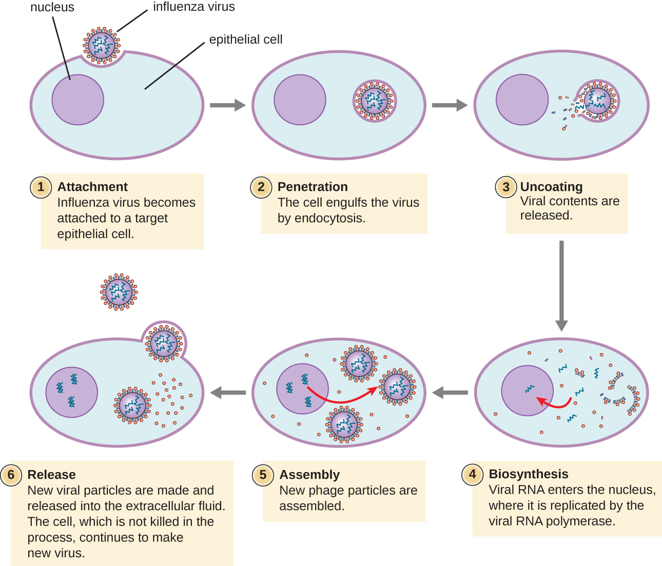 Steps of influenza infection. Step 1 is attachment when the influenza virus becomes attached to a target epithelial cell. This image shows a spherical virus binding to the surface of a host cell. Step 2 is penetration when the cell engulfs the virus by endocytosis; this shows the virus within a vacuole. Step 3 is uncoating when the viral contents are released; the image shows the virus being released from the vacuole. Step 4 is biosynthesis when the viral RNA enters the nucleus where it is replicated by RNA polymerase. Step 5 is assembly when the new phage particles are assembled. Step 6 is release when new viral particles are made and released into the extracellular fluid. The cell, which is not killed in the process continues to make new viruses.