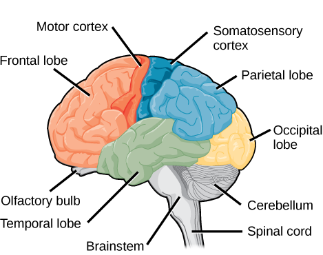Sagittal, or side view of the human brain shows the different lobes of the cerebral cortex. The frontal lobe is at the front center of the brain. The parietal lobe is at the top back part of the brain. The occipital lobe is at the back of the brain, and the temporal lobe is at the bottom center of the brain. The motor cortex is the back of the frontal lobe, and the olfactory bulb is the bottom part. The somatosensory cortex is the front part of the parietal lobe. The brainstem is beneath the temporal lobe, and the cerebellum is beneath the occipital lobe.