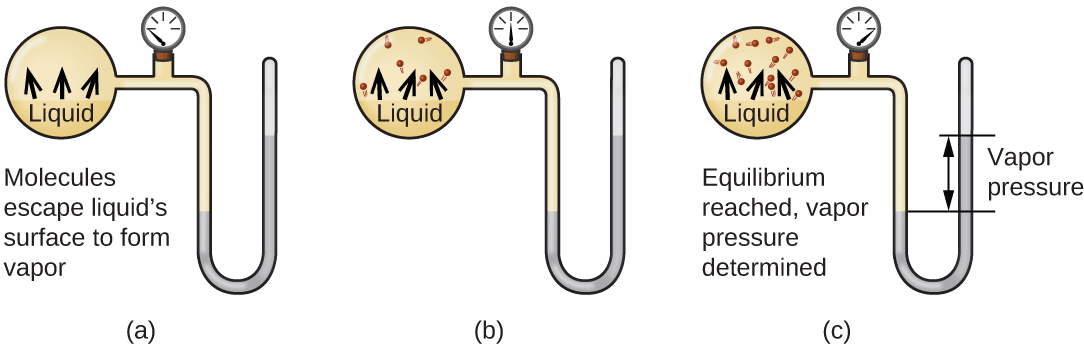 "Three images are shown and labeled ""a,"" ""b,"" and ""c."" Each image shows a round bulb connected on the right to a tube that is horizontal, then is bent vertically, curves, and then is vertical again to make a u-shape. A valve is located in the horizontal portion of the tube. Image a depicts a liquid in the bulb, labeled, ""Liquid,"" and upward-facing arrows leading away from the surface of the liquid. The phrase, ""Molecules escape surface and form vapor"" is written below the bulb, and a gray liquid in the u-shaped portion of the tube is shown at equal heights on the right and left sides. Image b depicts a liquid in the bulb, labeled, ""Liquid,"" and upward-facing arrows leading away from the surface of the liquid to molecules drawn in the upper portion of the bulb. A gray liquid in the u-shaped portion of the tube is shown slightly higher on the right side than on the left side. Image c depicts a liquid in the bulb, labeled, ""Liquid,"" and upward-facing arrows leading away from the surface of the liquid to molecules drawn in the upper portion of the bulb. There are more molecules present in c than in b. The phrase ""Equilibrium reached, vapor pressure determined,"" is written below the bulb and a gray liquid in the u-shaped portion of the tube is shown higher on the right side. A horizontal line is drawn level with each of these liquid levels and the distance between the lines is labeled with a double-headed arrow. This section is labeled with the phrase, ""Vapor pressure."""