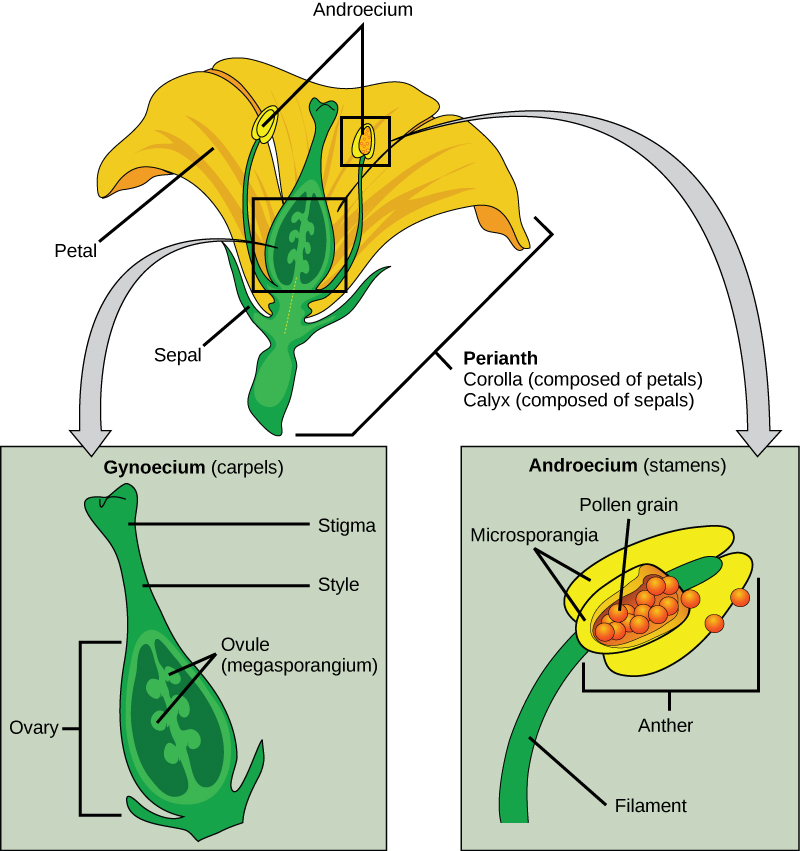 Illustration shows parts of a flower, which is called the perianth. The corolla is composed of petals, and the calyx is composed of sepals. At the center of the perianth is a vase-like structure called the carpel. A flower may have one or more carpels, but the example shown has only one. The narrow neck of the carpel, called the style, widens into a flat stima at the top. The ovary is the wide part of the carpel. Ovules, or megasporangia, are clusters of pods in the middle of the ovary. The androecium is composed of stamens which cluster around the carpel. The stamen consists a long, stalk-like filament with an anther at the end. The anther shown is tri-lobed. Each lobe, called a microsporangium, is filled with pollen.