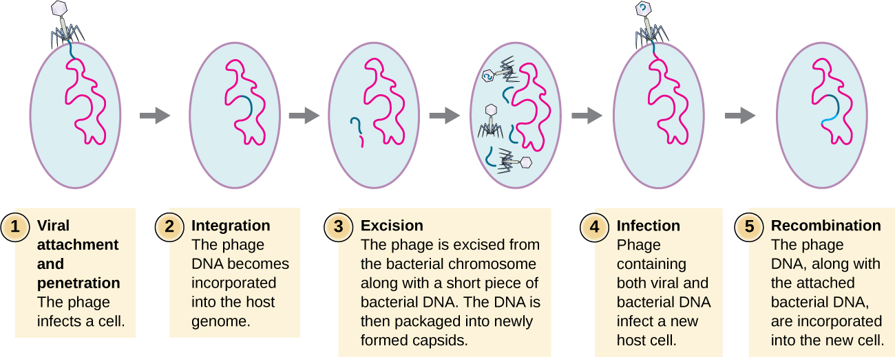 The steps of specialized transduction. Step 1 is viral attachment and penetration. This is when the phage infects a cell. This shows the virus sitting on the outside of a cell and injecting DNA into the cell. Step 2 is integration when the phage DNA becomes incorporated into the host genome. Step 3 is excisionwhen the phage is excised from the bacterial chromosomes along with a short piece of bacterial DNA. The DNA is then packaged into newly formed capsids. When the virus particles are assembled the DNA contains both viral and host segments. Step 4 is infection when the phage contains both viral and bacterial DNA infects a new host cell. Step 5 is recombination when the phage DNA along with the attached bacterial DNA are incorporated into a new cell. The image shows a new bacterial cell with virus DNA as well as other bacterial DNA in its genome.